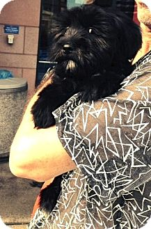 Maltese/Havanese Mix Puppy for adoption in Los Angeles, California - win