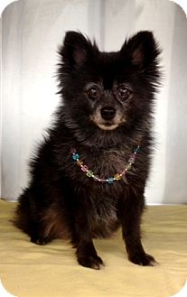 Pomeranian Dog for adoption in Dublin, California - Lulu