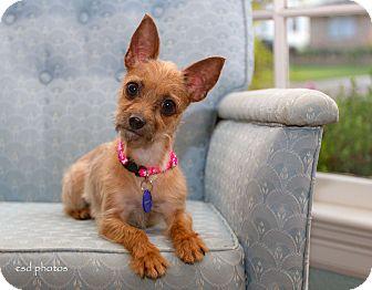 Yorkie, Yorkshire Terrier/Chihuahua Mix Dog for adoption in Baton Rouge, Louisiana - Cinnamon