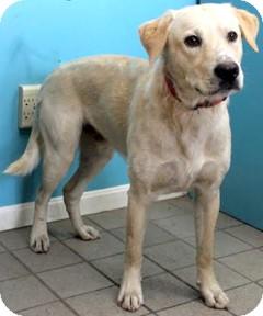 Labrador Retriever Mix Dog for adoption in Cincinnati, Ohio - Kellogg