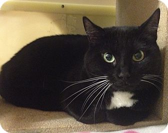 Domestic Shorthair Cat for adoption in Weatherford, Texas - Sheba
