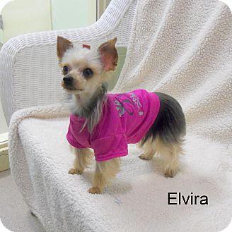Yorkie, Yorkshire Terrier Dog for adoption in Slidell, Louisiana - Elvira