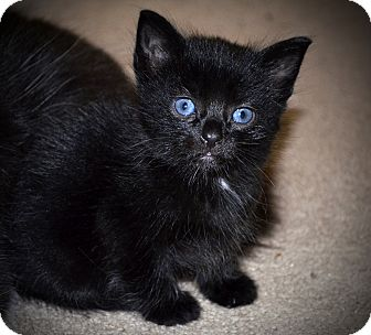 Domestic Shorthair Kitten for adoption in Xenia, Ohio - Todd