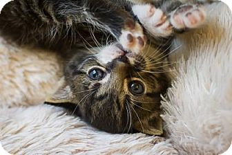 Domestic Shorthair Kitten for adoption in Bulverde, Texas - Morgan