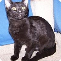 Adopt A Pet :: K-Meadows1-Raven - Colorado Springs, CO