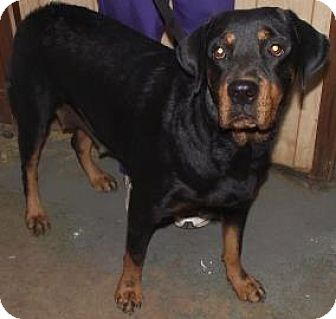 Rottweiler Dog for adoption in Irmo, South Carolina - Annie