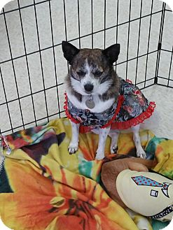 Terrier (Unknown Type, Medium)/Chihuahua Mix Dog for adoption in Goodyear, Arizona - Charlie (gal)