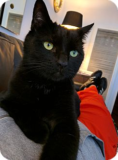British Shorthair Cat for adoption in Dallas, Texas - Indy