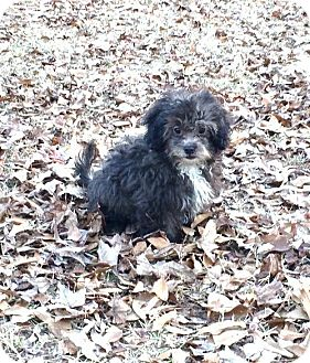 Shih Tzu/Toy Poodle Mix Puppy for adoption in Texarkana, Texas - Matt in Texarkana Texas