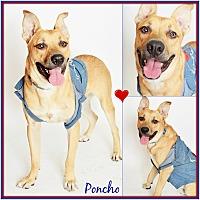 German Shepherd Dog/Labrador Retriever Mix Dog for adoption in Phoenix, Arizona - Poncho