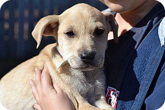 Labrador Retriever Mix Puppy for adoption in Acworth, Georgia - Princess Omni