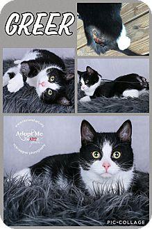 Domestic Shorthair Cat for adoption in Cincinnati, Ohio - Greer