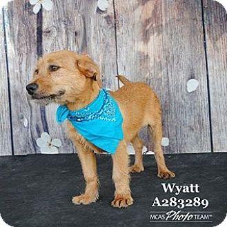 Welsh Terrier/Labrador Retriever Mix Dog for adoption in West Warwick, Rhode Island - Wyatt