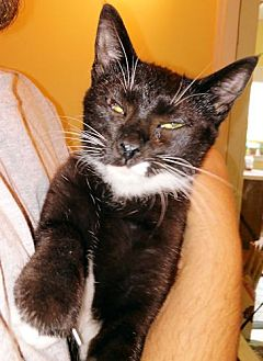 Domestic Mediumhair Cat for adoption in Sidney, Maine - Charlie