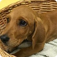 Adopt A Pet :: Bailey - Decatur, AL