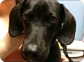 Labrador Retriever/Hound (Unknown Type) Mix Puppy for adoption in Huntley, Illinois - Rudy