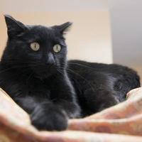 Adopt A Pet :: Black Jack - Farmington, ME