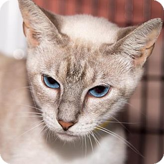 Siamese Cat for adoption in Fernandina Beach, Florida - SUNNY
