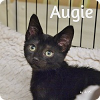 Domestic Shorthair Kitten for adoption in Ocean City, New Jersey - Augie