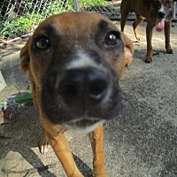 Hound (Unknown Type) Mix Puppy for adoption in East Hartford, Connecticut - Rico meet me 9/8