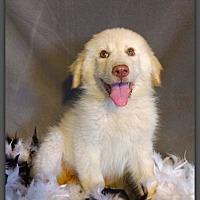 Labrador Retriever/Great Pyrenees Mix Puppy for adoption in DeForest, Wisconsin - Darlin