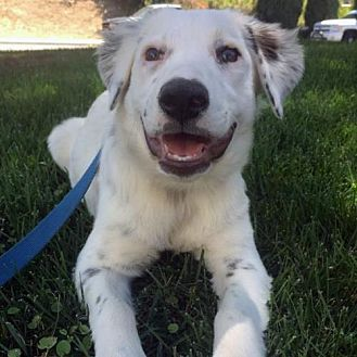 English Setter Mix Puppy for adoption in San Diego, California - Freckles