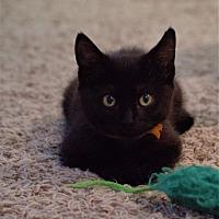 Adopt A Pet :: Shang - Stafford, VA