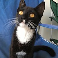 Adopt A Pet :: Bootsie/Tuxedo - Los Angeles, CA