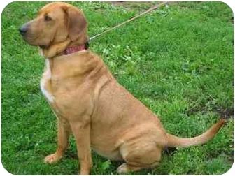 Mastiff Mix Dog for adoption in New Boston, New Hampshire - Ellie