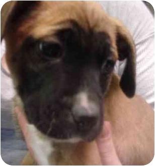 Boxer/Labrador Retriever Mix Puppy for adoption in Old Bridge, New Jersey - Madison