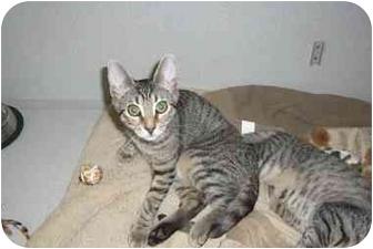 American Shorthair Kitten for adoption in Fair Oaks Ranch, Texas - Vet Kittens
