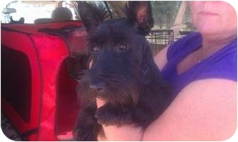 Scottie, Scottish Terrier Dog for adoption in San Fernando Valley, California - Abbey
