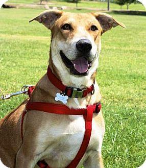 Labrador Retriever/American Staffordshire Terrier Mix Dog for adoption in Gilbert, Arizona - Ginger