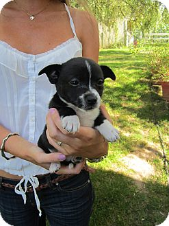 Pug/Chihuahua Mix Puppy for adoption in Bellingham, Washington - Stitch