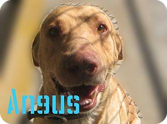 Labrador Retriever Mix Dog for adoption in Beaumont, Texas - Angus