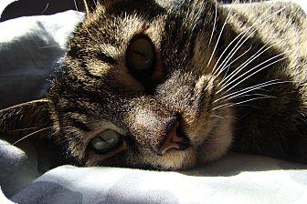 Domestic Shorthair Cat for adoption in Duncan, British Columbia - Fergus