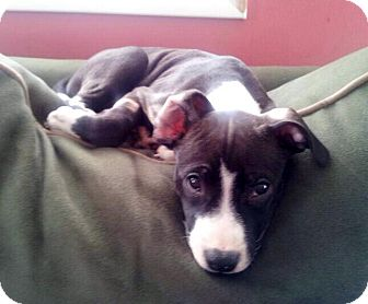 Pit Bull Terrier Mix Puppy for adoption in Medford, New Jersey - Jasmine