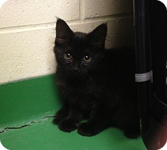 Domestic Mediumhair Kitten for adoption in South Haven, Michigan - Bliss