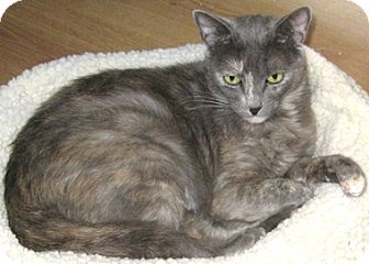 Domestic Shorthair Cat for adoption in North Highlands, California - Paris