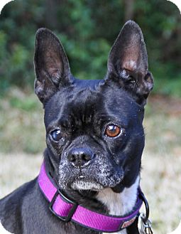 Boston Terrier Dog for adoption in North Augusta, South Carolina - TUESDAY