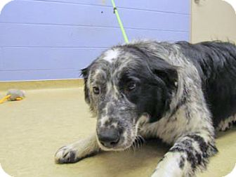 Border Collie Mix Dog for adoption in Spokane, Washington - Lewis