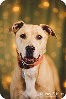 Rhodesian Ridgeback/Labrador Retriever Mix Dog for adoption in Portland, Oregon - Harley