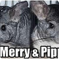 Adopt A Pet :: Pippin - Virginia Beach, VA