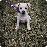 Adopt A Pet :: Jester - Broomfield, CO