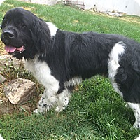 Adopt A Pet :: Gambo - Silverthorne, CO