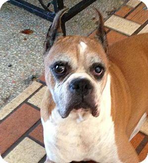 Boxer Dog for adoption in Miami, Florida - Tyson