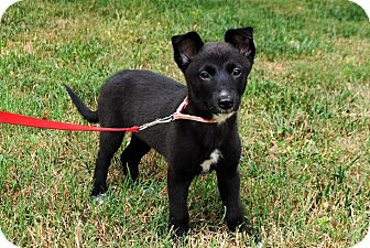 Australian Cattle Dog Mix Puppy for adoption in Salem, New Hampshire - PUPPY LENA HORNE
