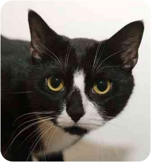 Domestic Shorthair Cat for adoption in Chicago, Illinois - Lord and Taylor