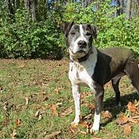 Hound (Unknown Type)/Pit Bull Terrier Mix Dog for adoption in Pleasant Plain, Ohio - Titan