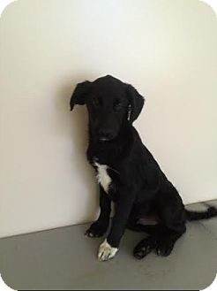 Labrador Retriever/Border Collie Mix Puppy for adoption in Hainesville, Illinois - Pudge